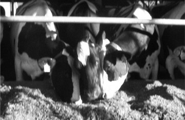 Figure 1: A cow being displaced at feed bunk.