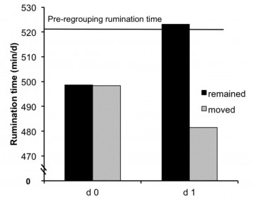Figure 3. After regrouping, cows that remained in the same pen (black bars) spent less time ruminating the day they were regrouped (Day 0), but returned to normal (i.e. the pre- regrouping baseline) the day after (Day 1). Cows that were also moved to a new pen spent less time ruminating on both Day 0 and Day 1.